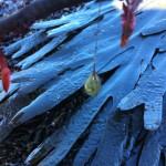 Green leaf worm egg case