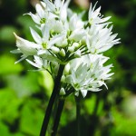 Wild Garlic flower