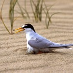 Little Tern nesting at Crimdon