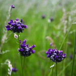 Purple Flowers in tall grass