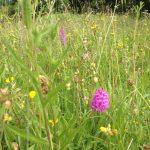 Wildflower meadows at Hawthorn Dene