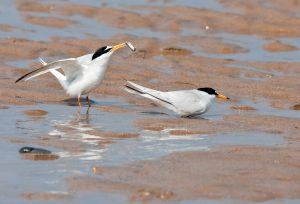 little-tern-pairing-8903-2